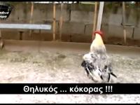Θηλυκός κόκορας!!!