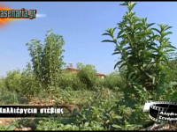 Καλλιέργεια στέβιας